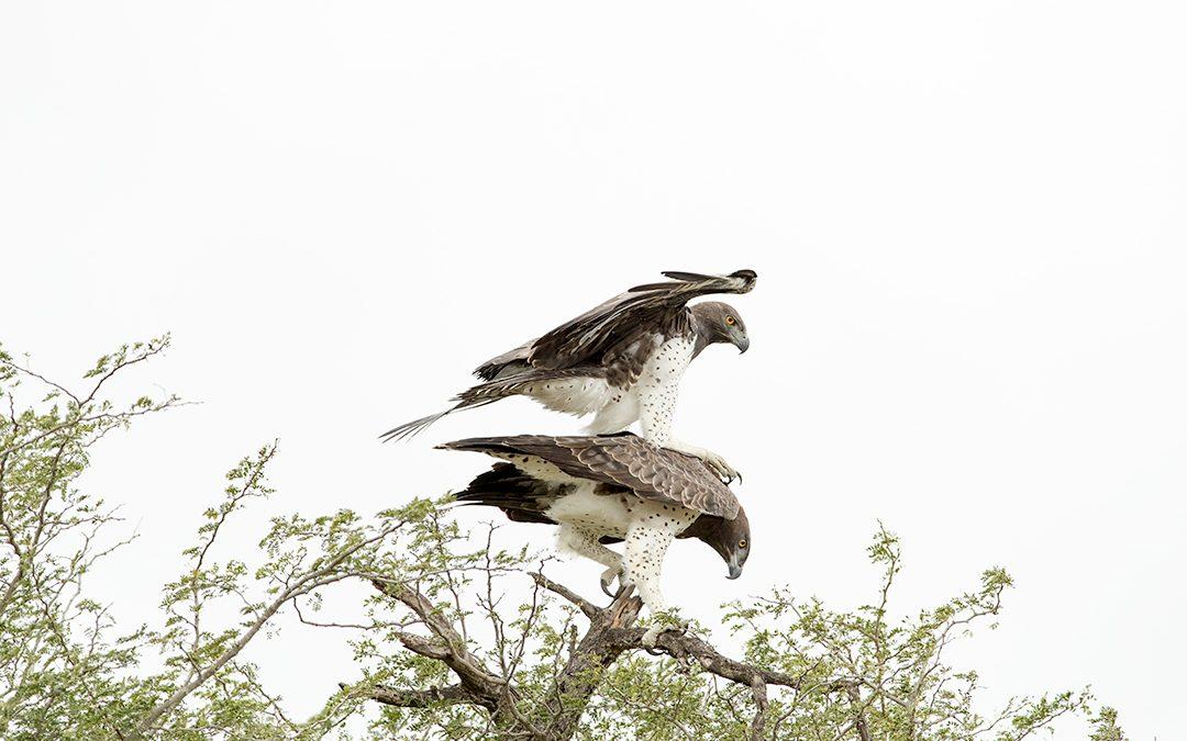 Mating Martial Eagles